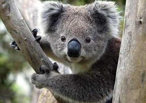koala0